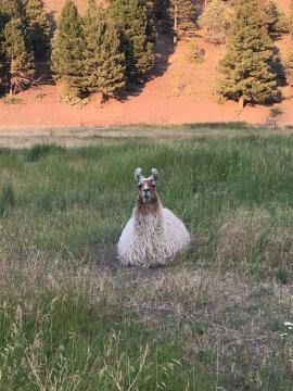 Morning Llama.